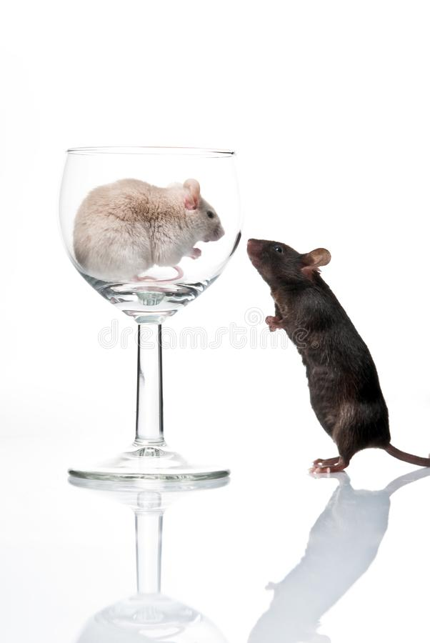 White and black mouse royalty free stock photos