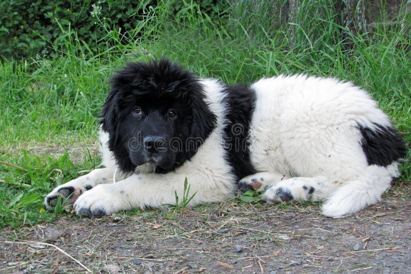 White and black newfoundland puppy royalty free stock photo