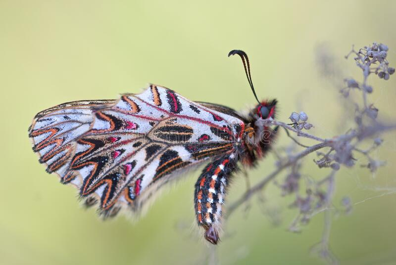 White Black and Pink Butterfly royalty free stock photo