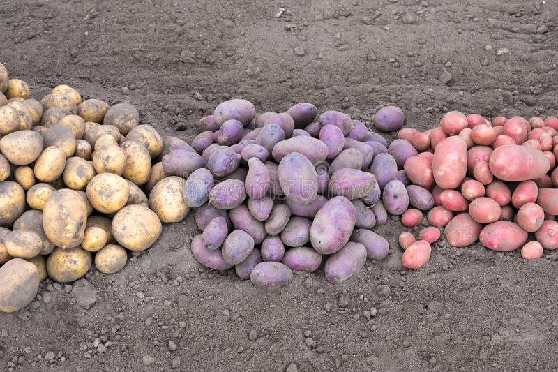 White black and pink potatoes on the ground. Just dug stock photography
