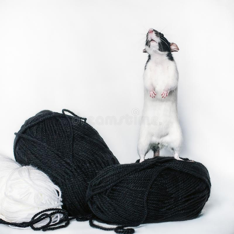White and black rat stands on its hind legs stock photography
