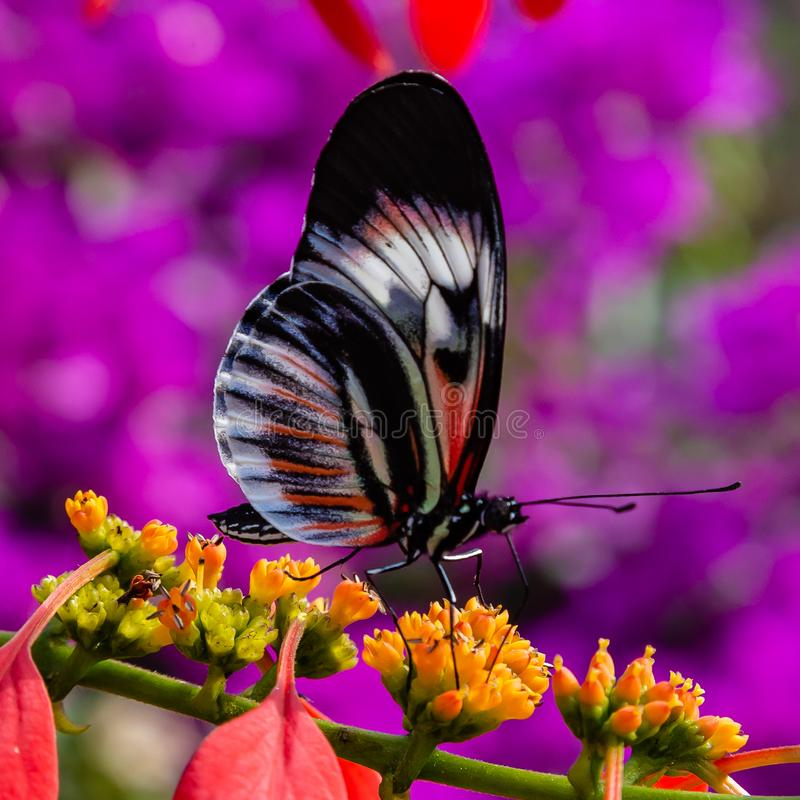 White, black, red piano key longwing butterfly on yellow flower. White, black,red piano key longwing butterfly on yellow flower photographed at the Butterfly stock images