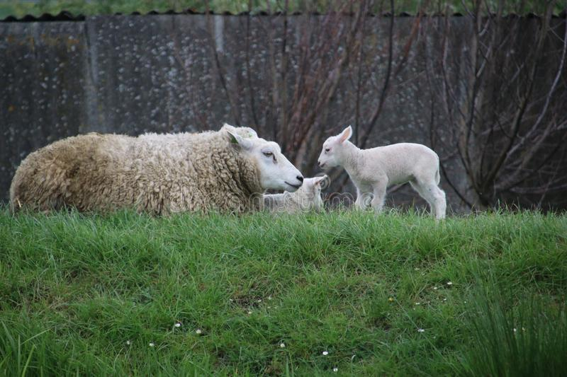 White and black sheeps with lamb on a meadow in Stompwijk the Netherlands. stock images