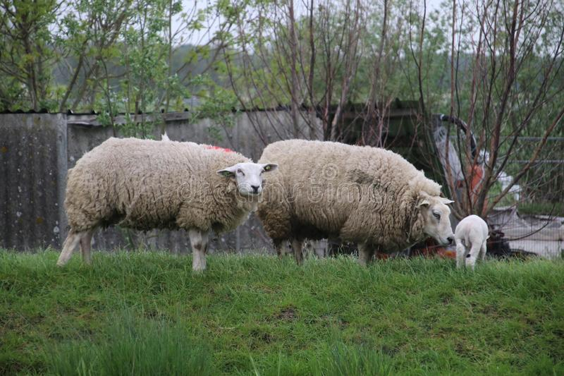 White and black sheeps with lamb on a meadow in Stompwijk the Netherlands. stock photos