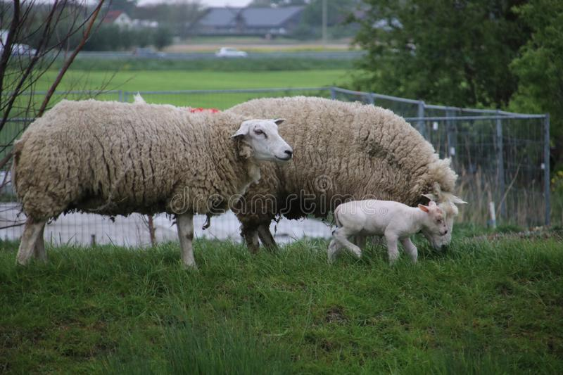 White and black sheeps with lamb on a meadow in Stompwijk the Netherlands. stock photography