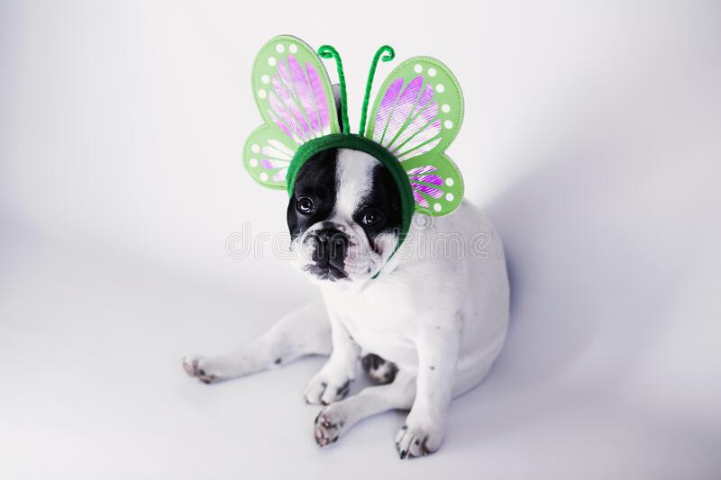 White and Black Short Coat Small Dog Wearing a Green Butterfly Head Band royalty free stock images