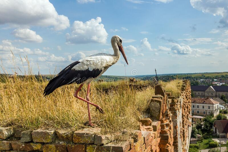 White and black stork bird standing on an old ruined building in summer.  royalty free stock image