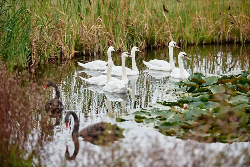 White and black swans on the lake, copy space. Swan bird family outdoors. stock images