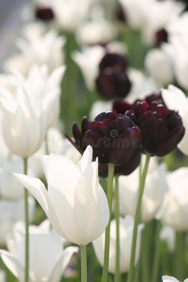 White and black tulips on a field royalty free stock photo