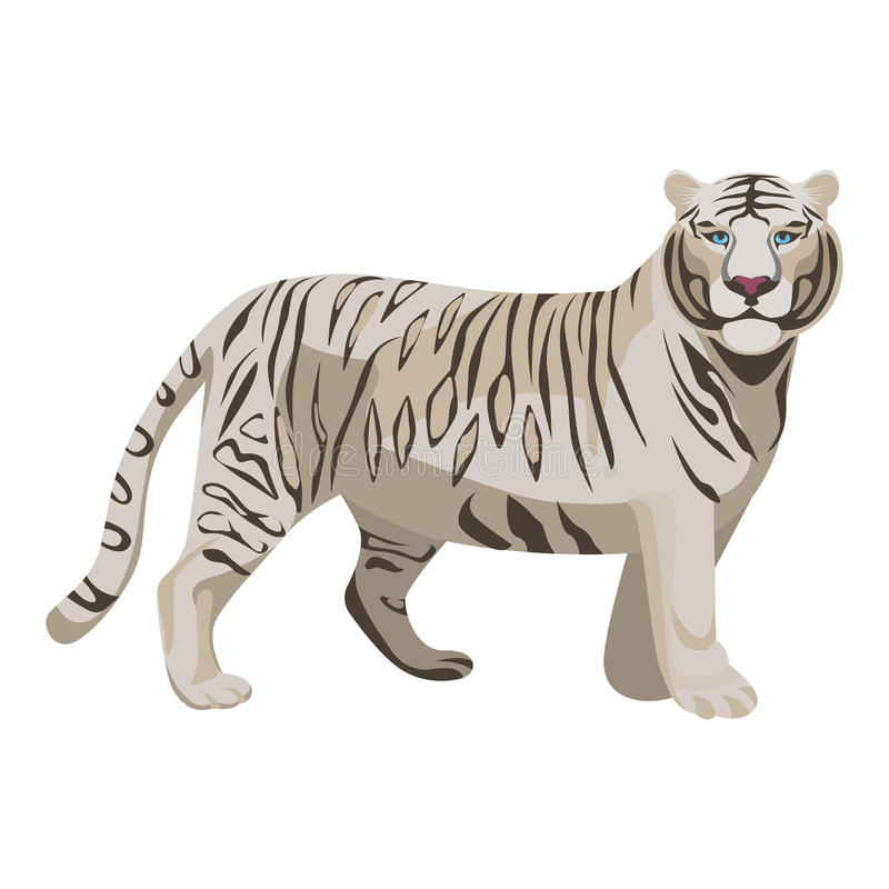 White or bleached tiger isolated on white. Predator rare animal. With black stripes typical of Bengal tiger, but carries a white or near-white coat. Endangered royalty free illustration