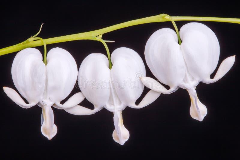 White Bleeding heart flower against black background royalty free stock photography