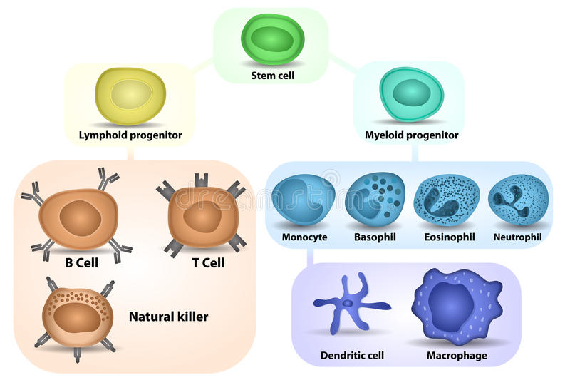 White Blood cell formation. From differentiation of hematopoietic stem cell stock illustration