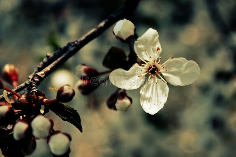 White bloom on branch royalty free stock image