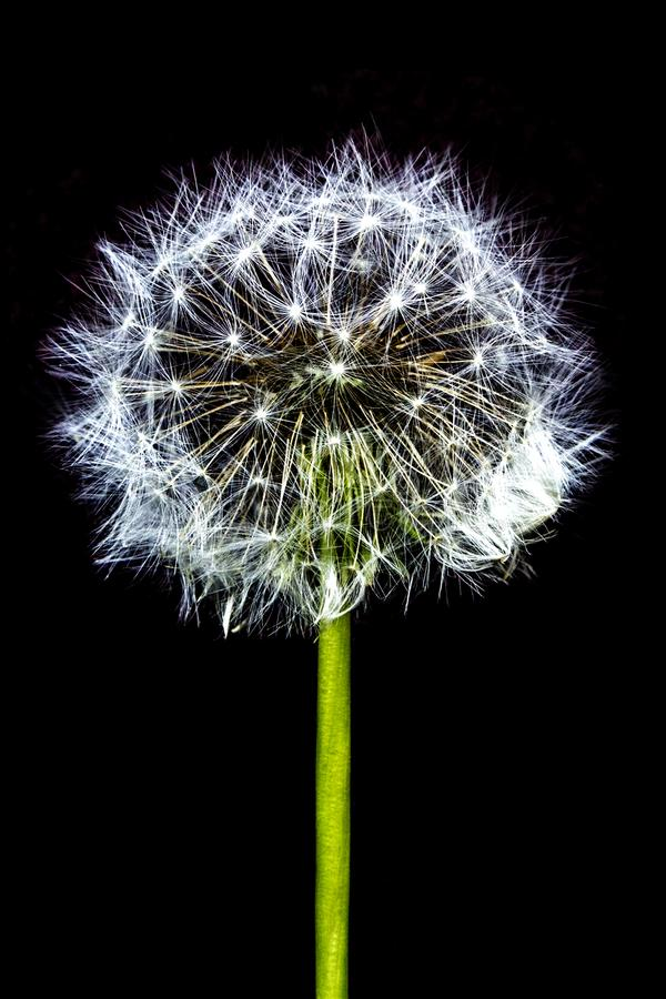 Bloom Dandelion spreading its seed in blowing wind isolated on black backgroundWhite bloom head Dandelion flower isolated on black royalty free stock photo