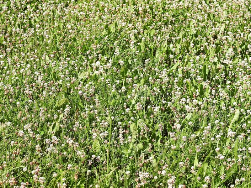 White blooming clover in field, Lithuania. Nice white wild clover in meadow in summer, can use as background stock photo