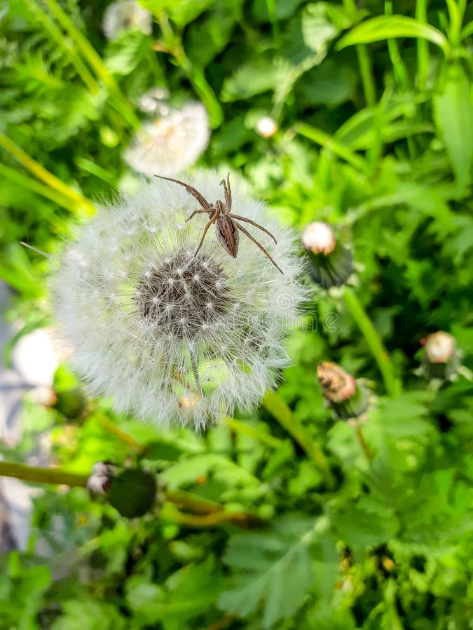 White blooming dandelion with spider on top. 5 royalty free stock photography