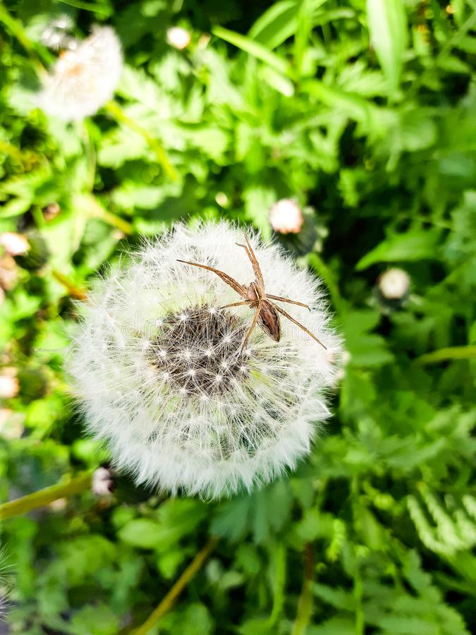 White blooming dandelion with spider on top. 1 stock image