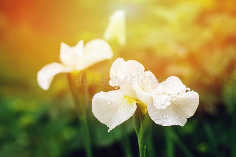 White blooming irises close up in summer garden. Floral composition with empty space. In soft sunny light stock images