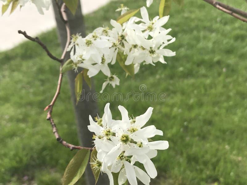 White blooms stock image