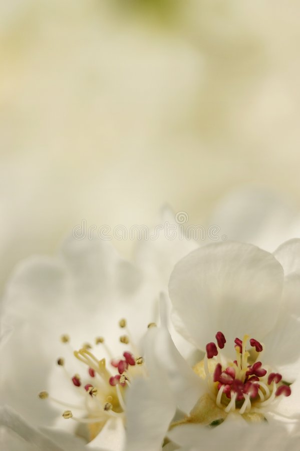 Download White blossom stock image. Image of blossom, flora, light - 2619467