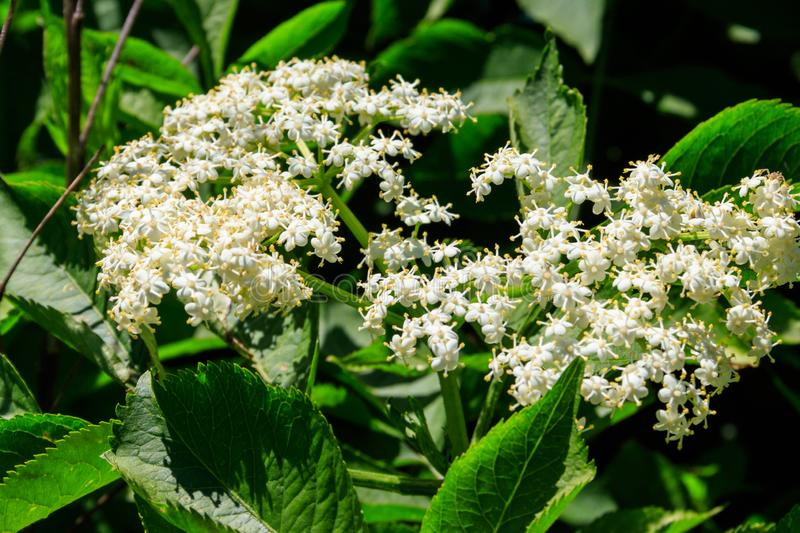White blossom of black elderberry tree Sambucus nigra. Close-up stock photography