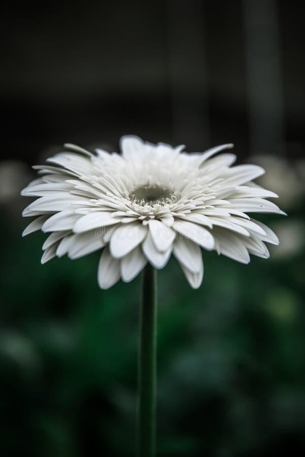 White blossom royalty free stock photo