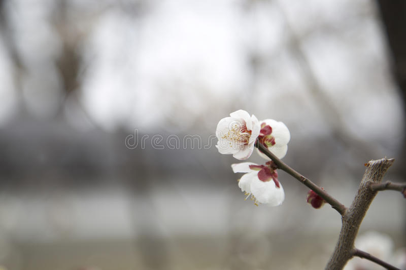 White blossom. Close up version royalty free stock photos