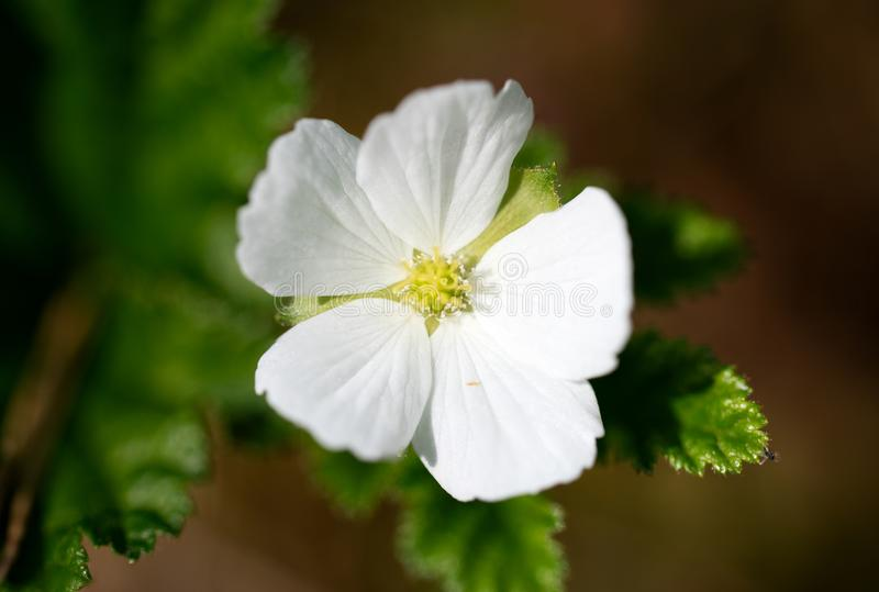 Cloudberry blossom in summertime. A white blossom of the cloudberry Rubus chamaemorus blossoming on a Finnish swamp in the summertime stock image