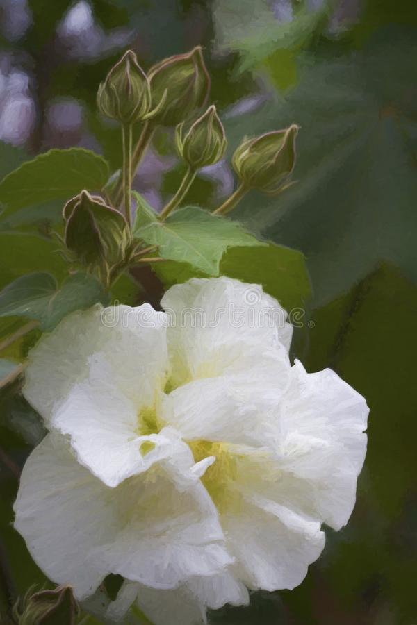 White Blossom of Confederate Rose Digitally Painted. This is the pretty white blossom of the hibiscus bush called by several names, Confederate rose, Dixie stock image