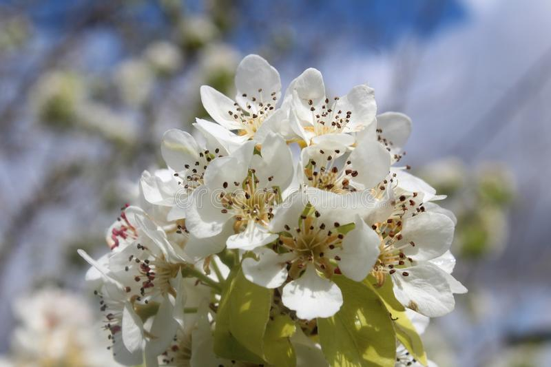White, Blossom, Flower, Spring royalty free stock photos