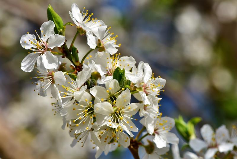 White, Blossom, Flower, Spring royalty free stock photo