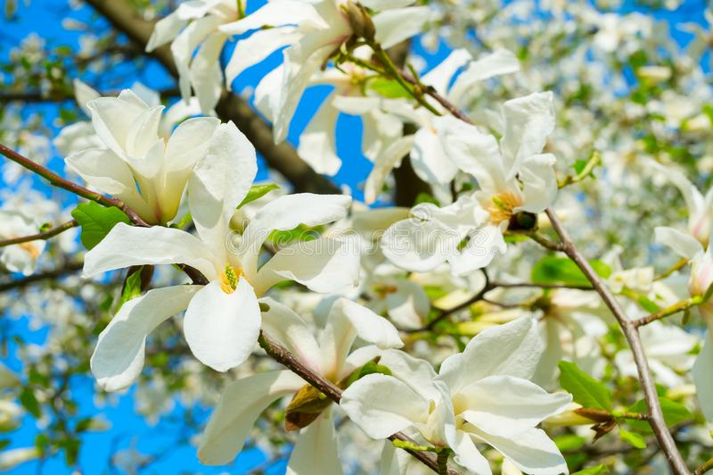 White blossom magnolia tree flowers stock photography