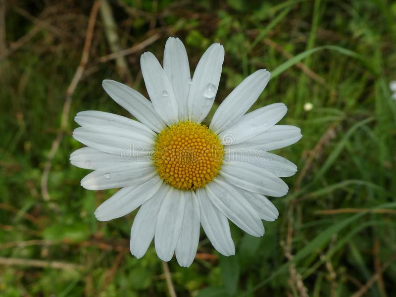 White blossom of a marguerite. Flower White blossom Marguerite Bloom plant botanic wild Meadow forest stock image
