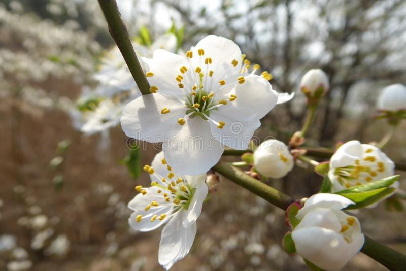 White, Blossom, Spring, Flower royalty free stock photography