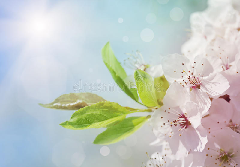 White blossom tree stock photos