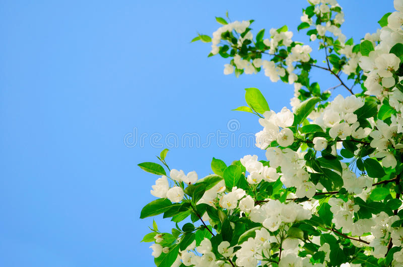 White blossoming apple flowers against clear blue sky royalty free stock image