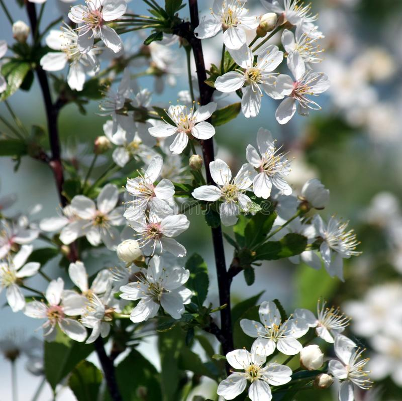 White blossoming cherry tree flowers closeup. Selected focus. Flowers of the cherry blossoms on a spring day stock photo