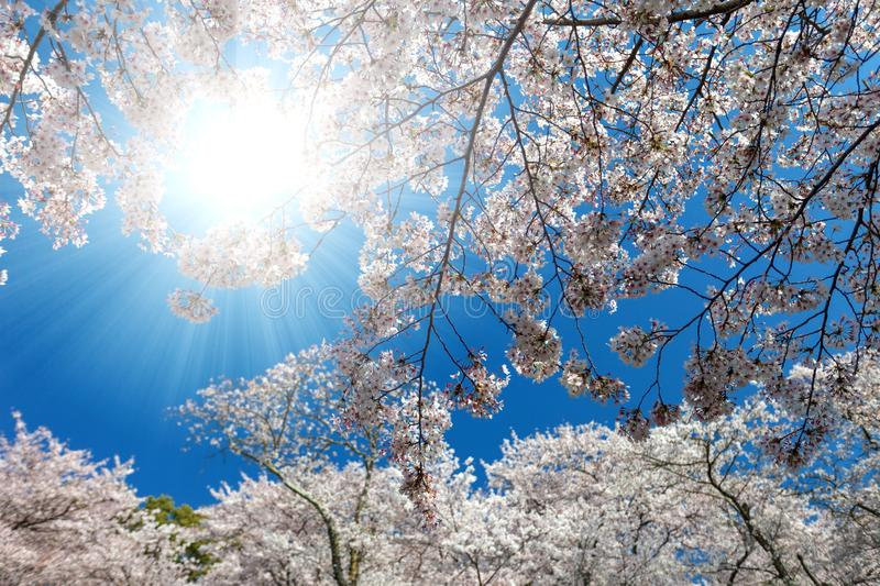 White blossoming cherry trees framing the nice blue sky stock photography