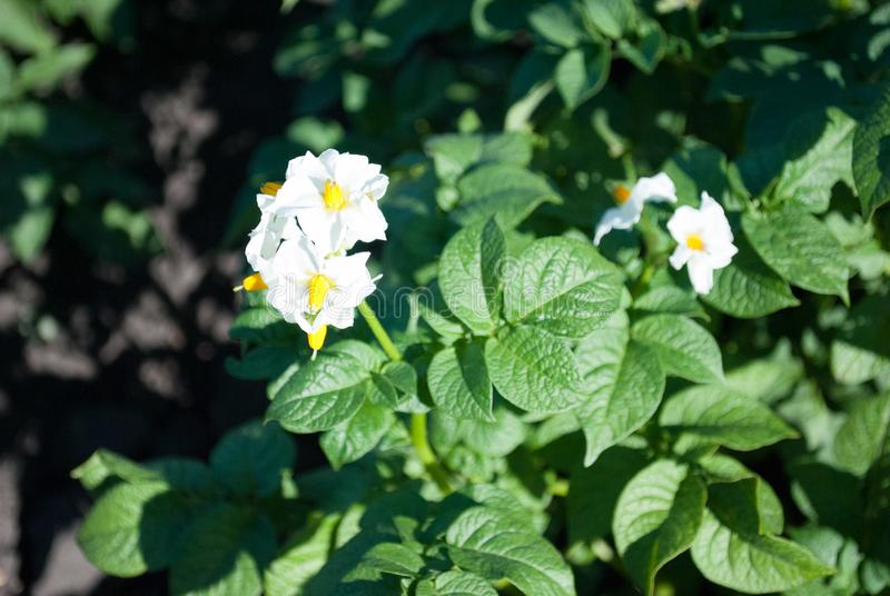 White blossoming flowers on a young green potato in early summer stock photography