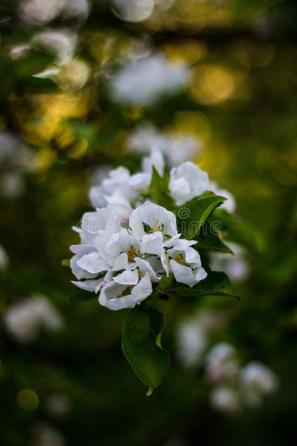 White blossoming tree royalty free stock photo