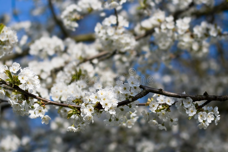 White blossoms royalty free stock photos