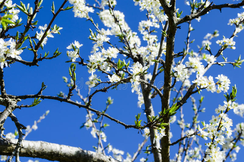 White blossoms against a clear blue sky royalty free stock photo