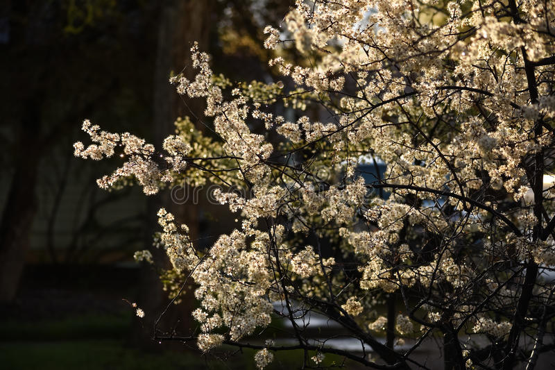 White Blossoms Plum Tree. Against Dark Background With Low Afternoon Sunlight Backlighting royalty free stock images