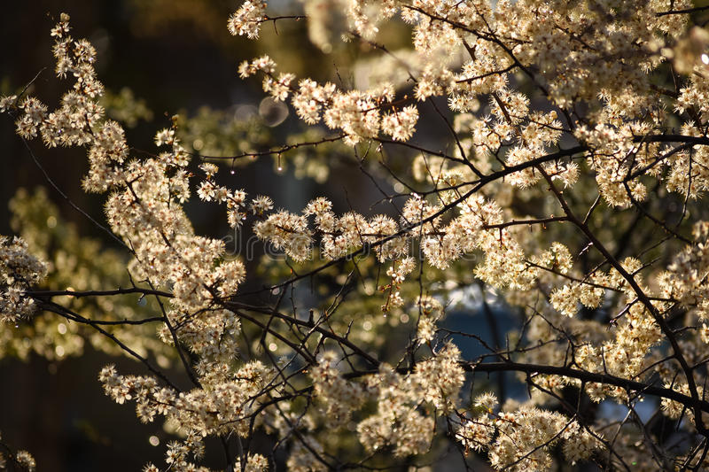 White Blossoms On Plum Tree. In Morning Light royalty free stock image