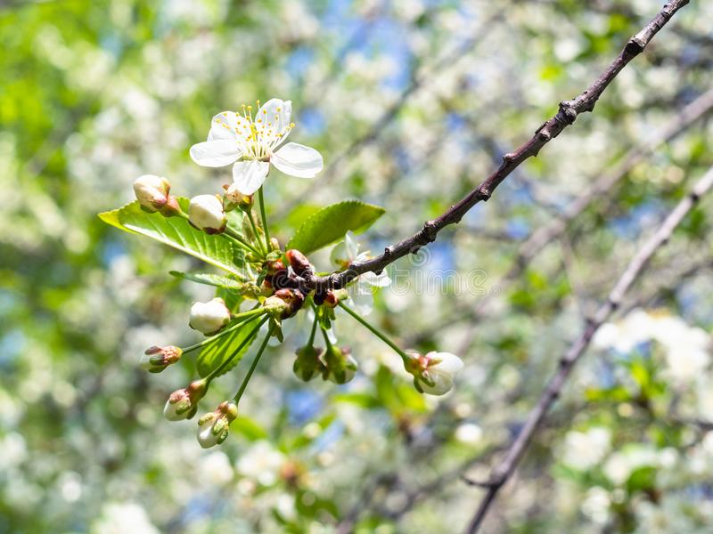 White blossoms on tip of twig in orchard in spring. White blossoms on tip of twig in orchard in sunny spring day stock image