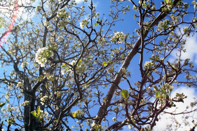 White tree blossoms with dark branches and sunburst stock images