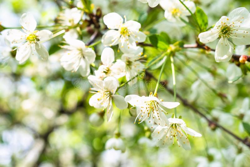 White blossoms on twig in orchard in spring. White blossoms on twig in orchard in sunny spring day royalty free stock photo