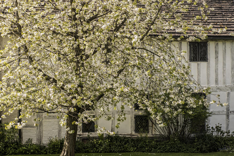 White Blossoms with White Beamed House stock photo