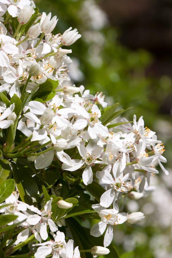 White blossums of choisya ternata. Choisya ternata in bloom, a white blooming evergreen busy stock photo