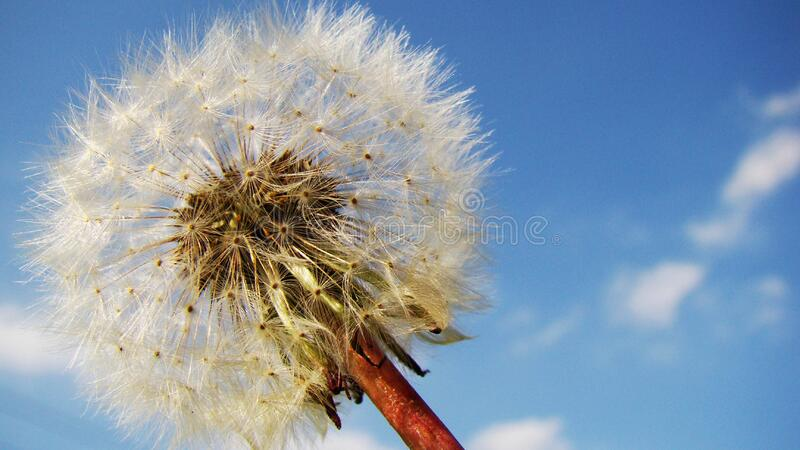 White Blow Flower Under Sunny Blue Skies royalty free stock photos